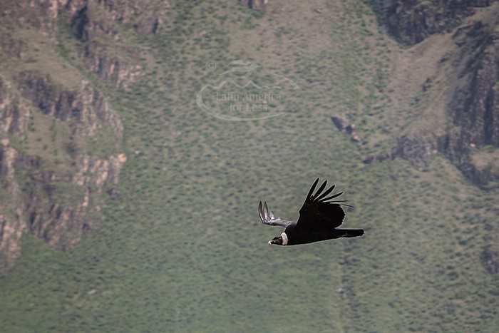 Andean condor flying in Colca Canyon, Peru