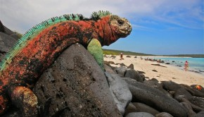 a marine iguana in the Galapagos