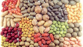 varieties of potatoes in the Sacred Valley