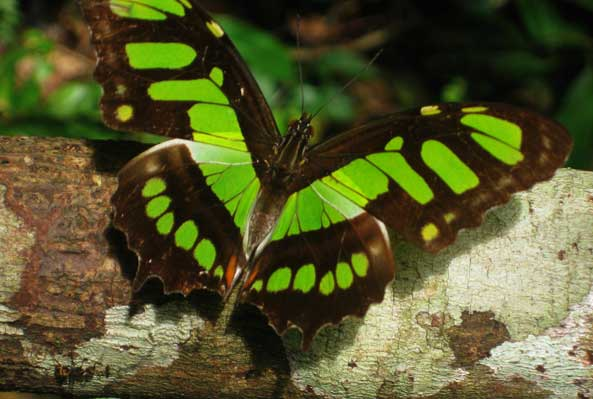 Butterfly in the Amazon Rainforest