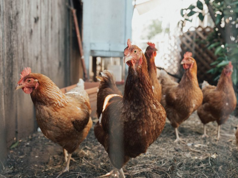 A group of hens
