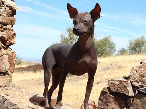The Peruvian hairless dog, also known as the Peruvian Inca Orchid, Viringo, or Perro Calato.