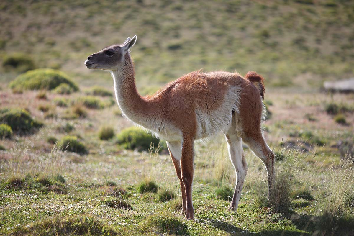 A white and brown animal similar to a llama known as a guanaco roams the Patagonian Desert in South America.