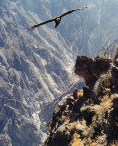 Condor in Colca Canyon, Arequipa tours, Peru For Less