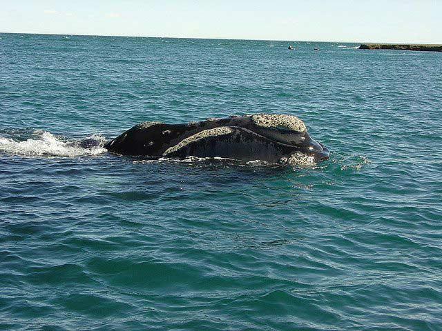 Southern right whale, Puerto Madryn, Argentina