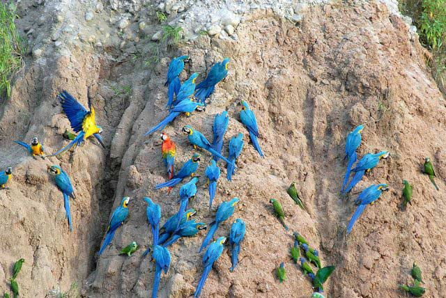 Macaws at Tambopata Research Center, Amazon vacations, Peru For Less