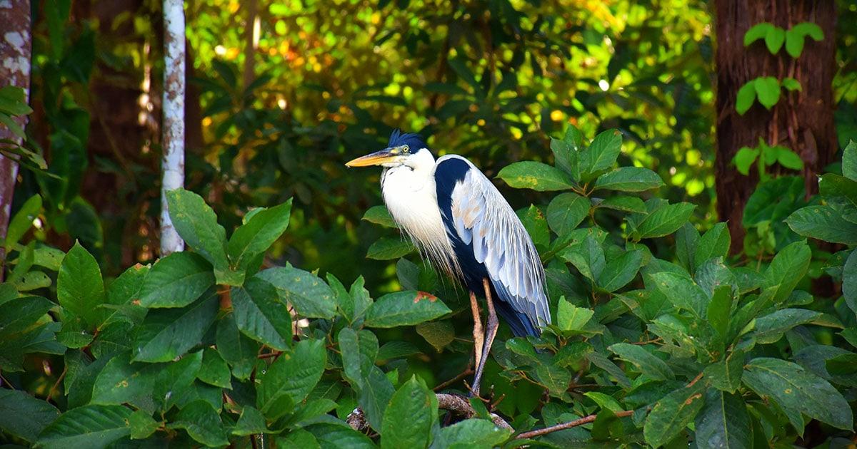 An exotic bird perched on a branch in Tambopata National Reserve near Puerto Maldonado.
