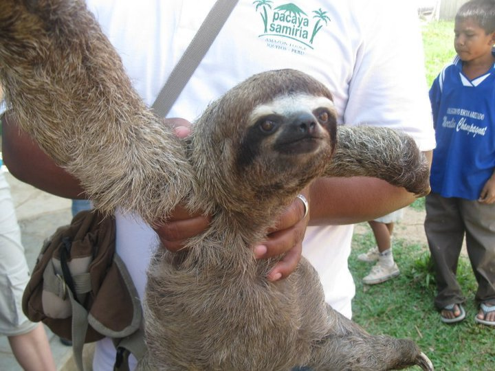 The Three-Toed Sloth is one of many creatures you may encounter during your Amazon Travel.