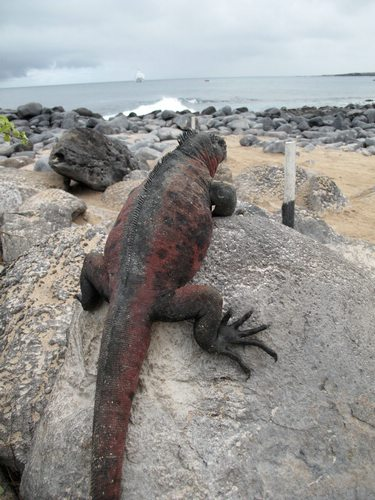 Galapagos iguana, Galapagos For Less