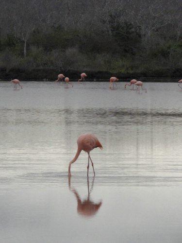 Galapagos pink flamingos, Galapagos Legend