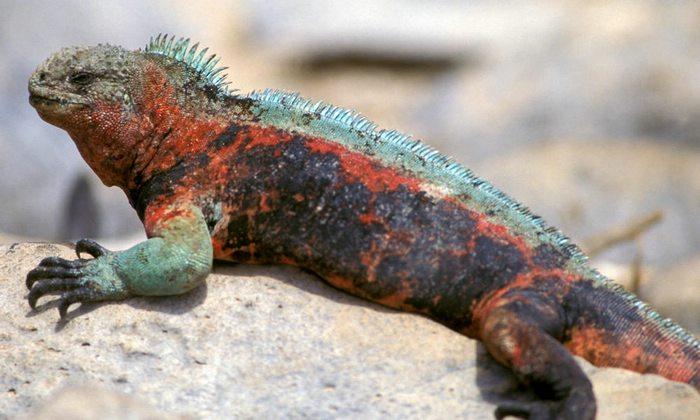 Galapagos Iguana, Galapagos Islands, Peru For Less