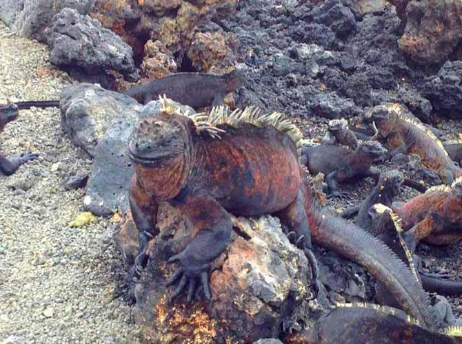 marine iguana, Galapagos Islands, Peru For Less