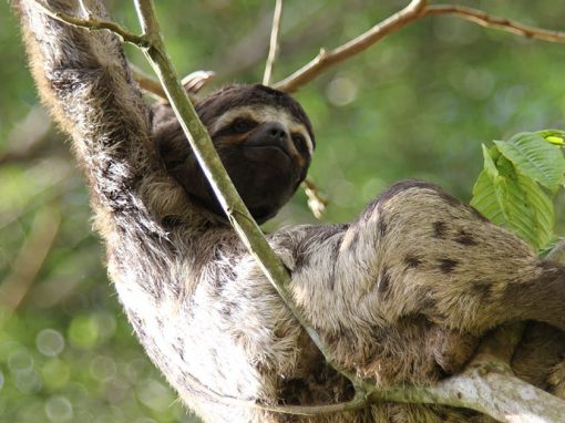 A sloth on a tree branch in the Peruvian Amazon Rainforest near the city of Iquitos.