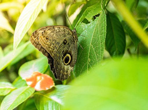 An exotic butterfly on a leaf in the butterfly sanctuary at Tambopata National Reserve.
