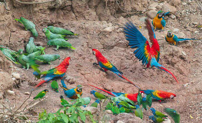 Macaw Claylick, Posasa Amazonas, Peru For Less