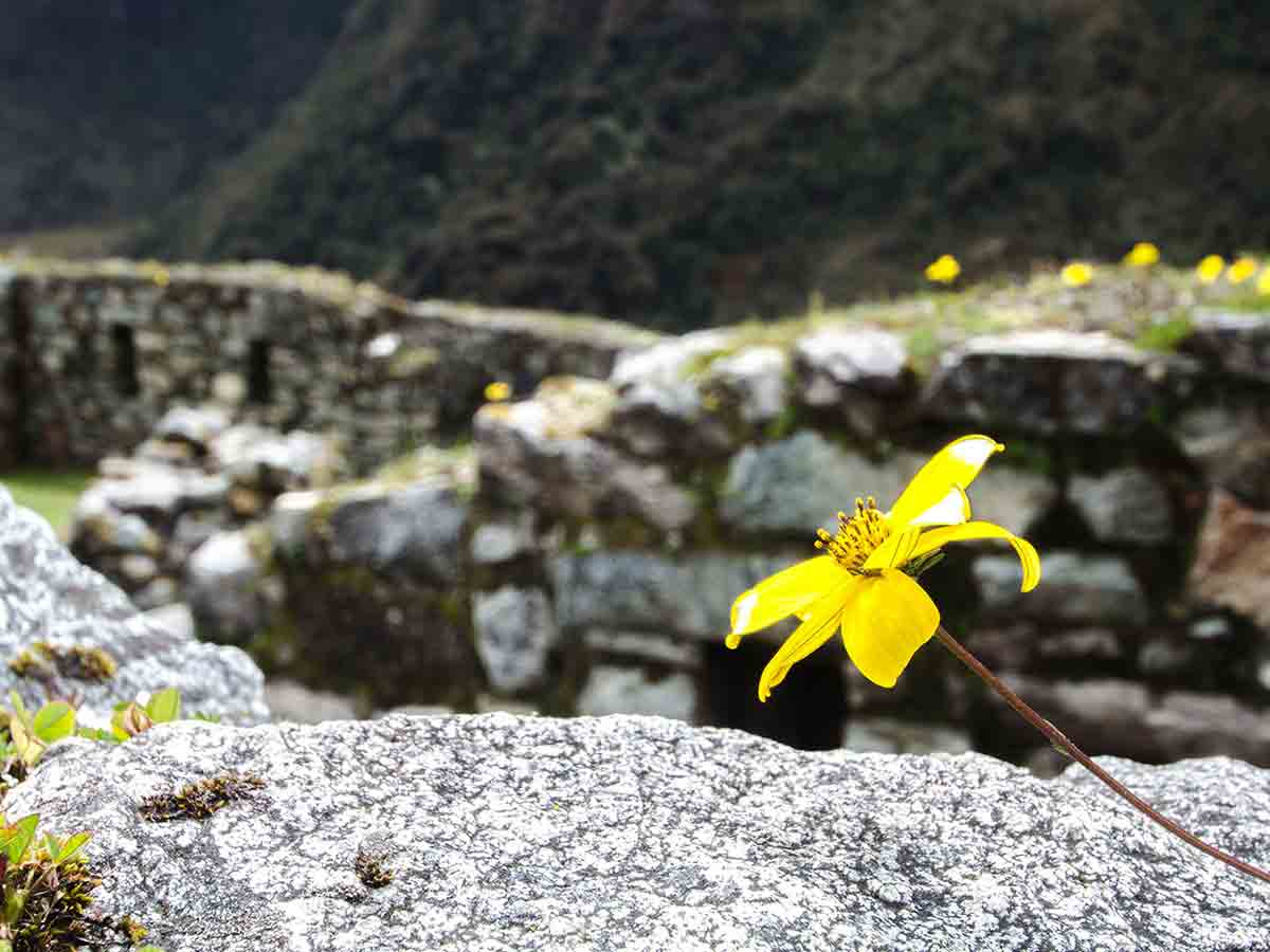 yellow flower on the Inca Trial with ruins behind it