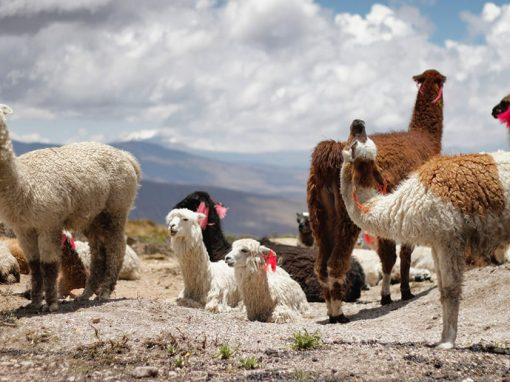 A herd of llamas with different color fur resting in a rocky field in the Peruvian Andes.