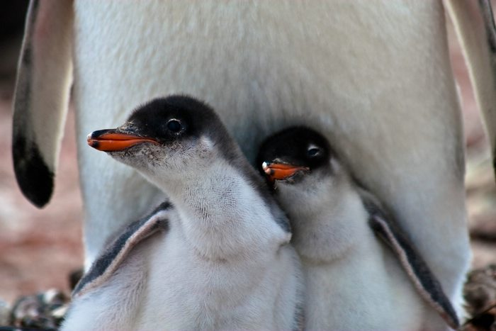 Two young penguins stand together in front of an adult penguin in the Antarctic
