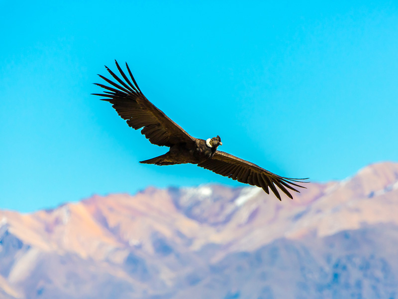 An Andean condor in flight over Colca Canyon in Arequipa.
