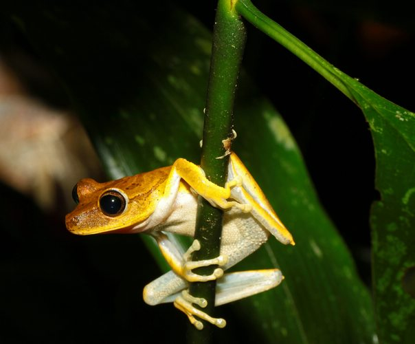 Hyla Tree Frog, Manu National Park, Peru, Peru For Less