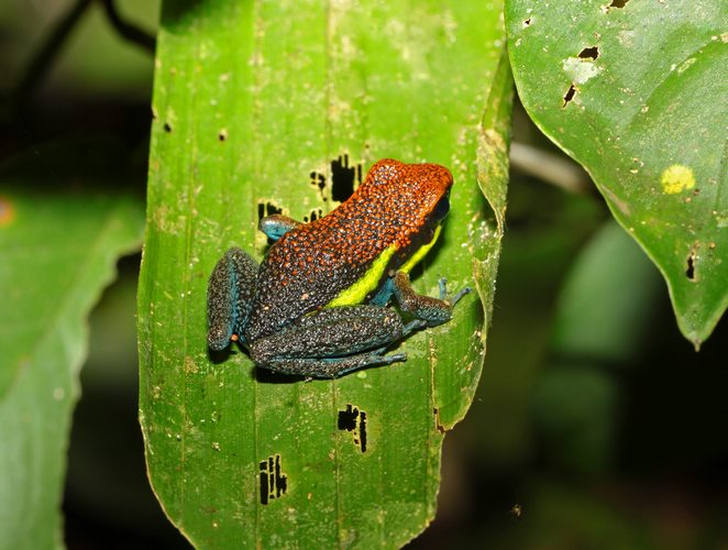 Poison Dart Frog, Manu National Park, Peru, Peru For Less