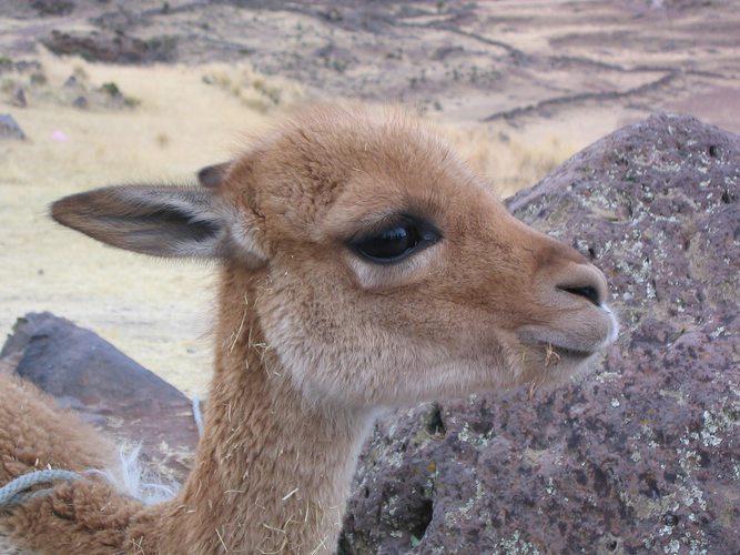 Vicuña, Peru, Peru For Less