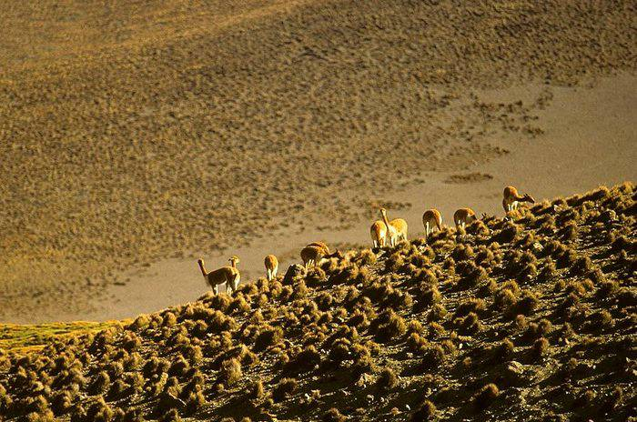 Wild Vicuña, Chile