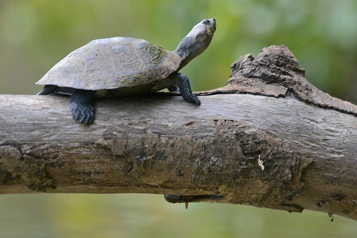 Yellow Spotted River Turtle, Manu National Park, Peru, Peru For Less