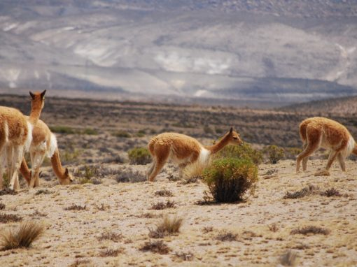 A group of vicuñas grazing near Arequipa.