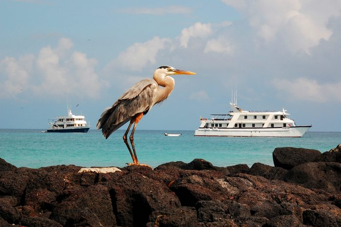 great blue heron poses for the camera in the Galapagos