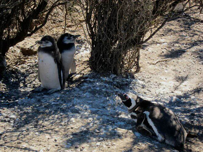 penguins, Argentina, Latin America For Less
