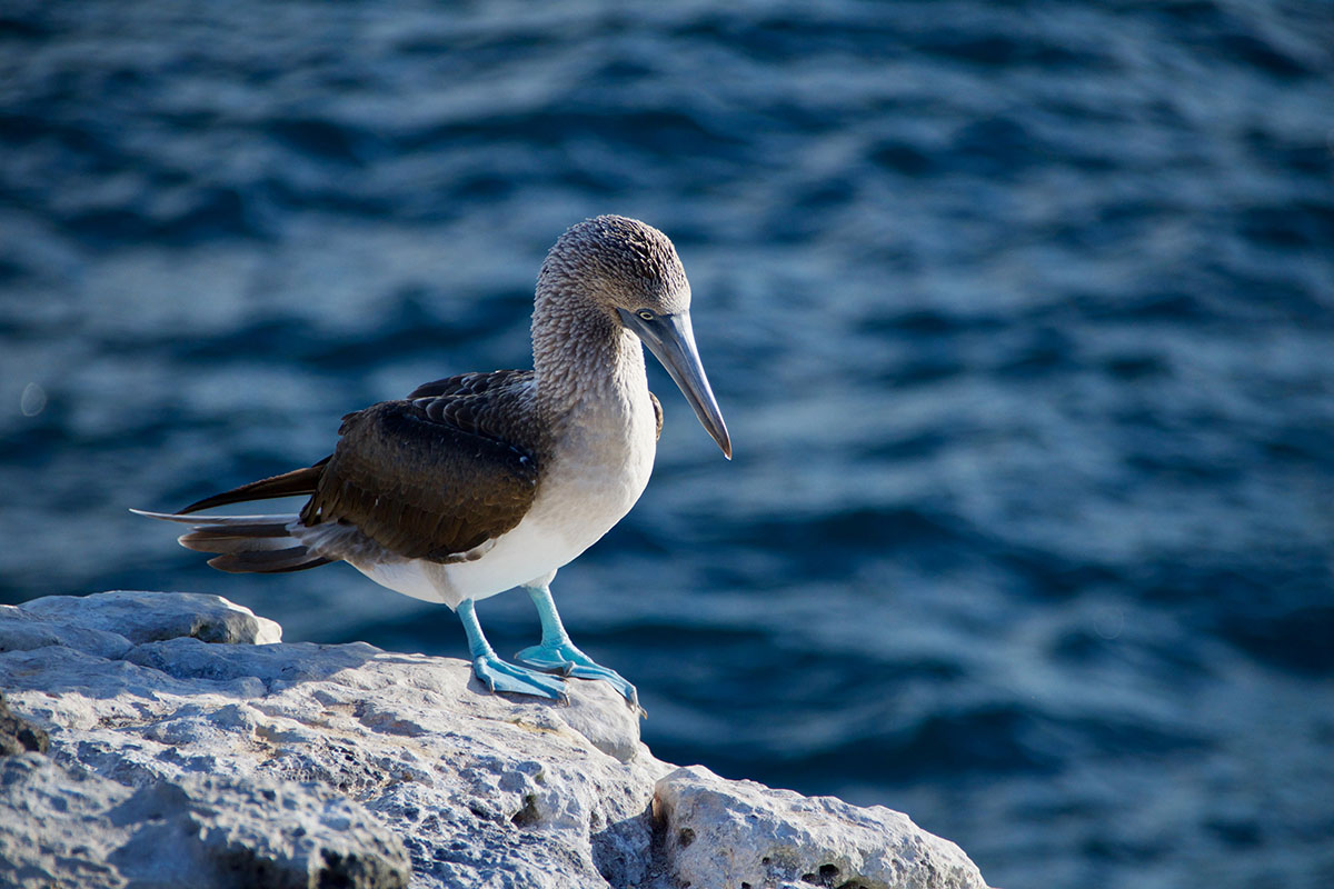 A white and gray bird with blue feet, the blue footed booby, standing on a rock.