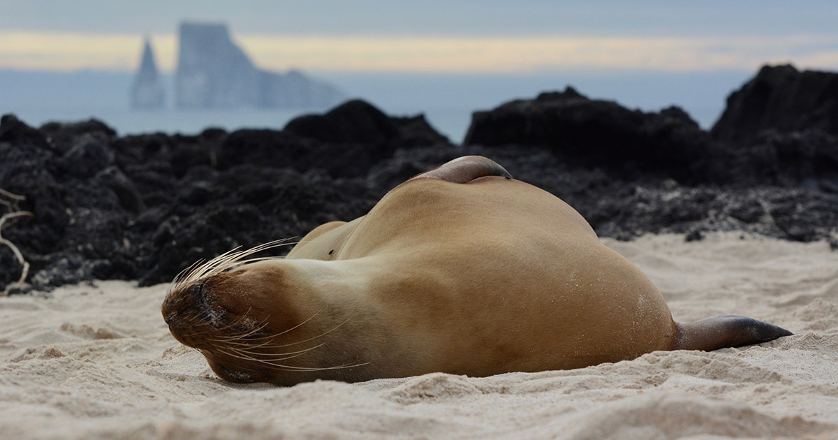 A sea lion laying on its back in the Galapagos sand with rock formations in the distance.