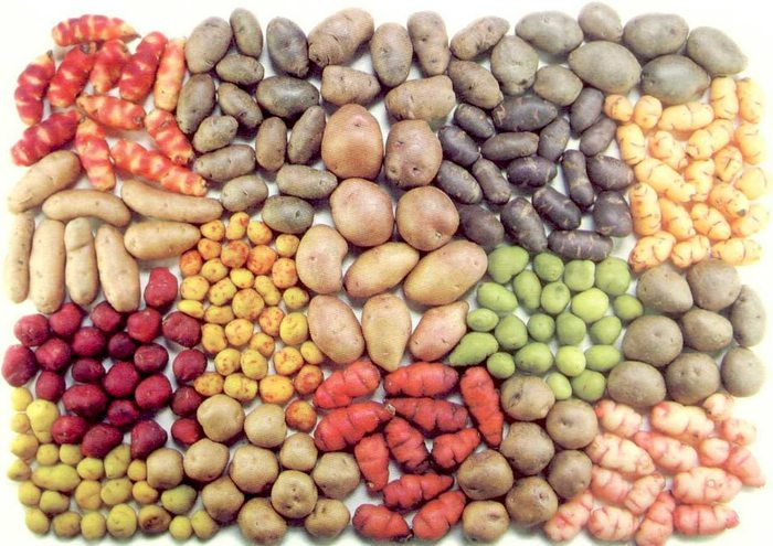 17 different types of potatoes of varying colors groups together with a white background.