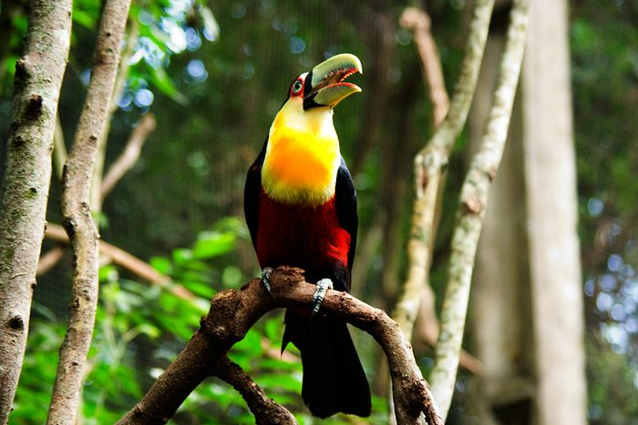 A colorful toucan of Iguazu National Park