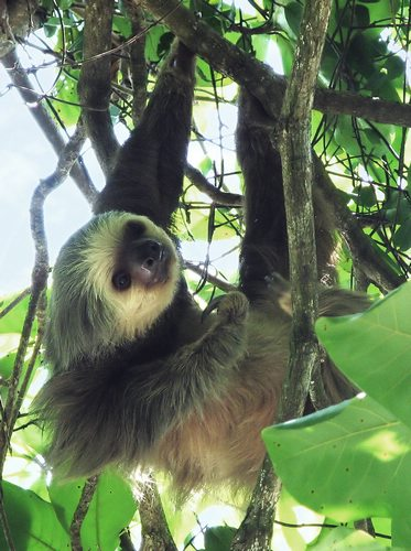 Two-toed sloth Manuel Antonio National Park Costa Rica