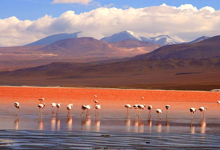 Flamingos in the Laguna Colorada Uyuni Bolivia