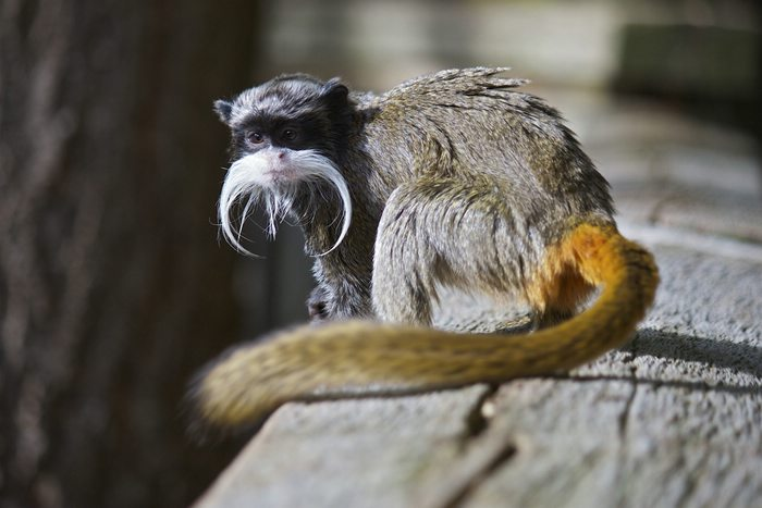 Bearded emperor tamarin monkey in the jungle.