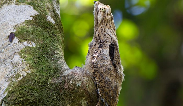 Great Potoo Bird