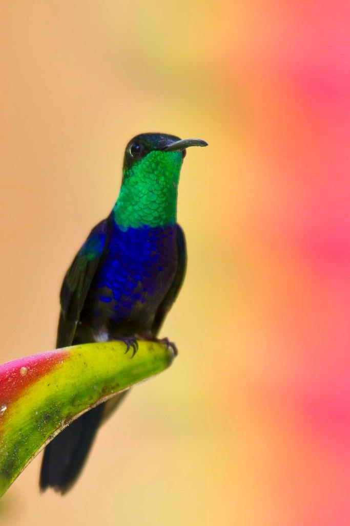 Marcelo Hummingbird