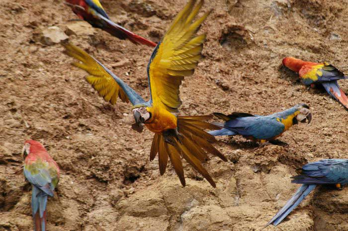Macaw at the claylick