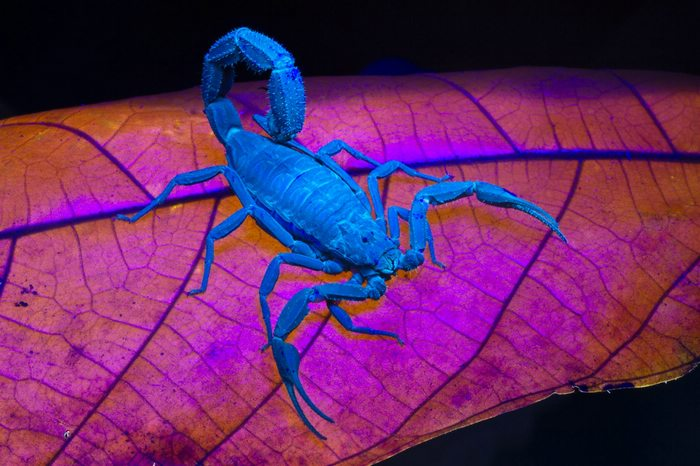 Scorpion that glows in the dark