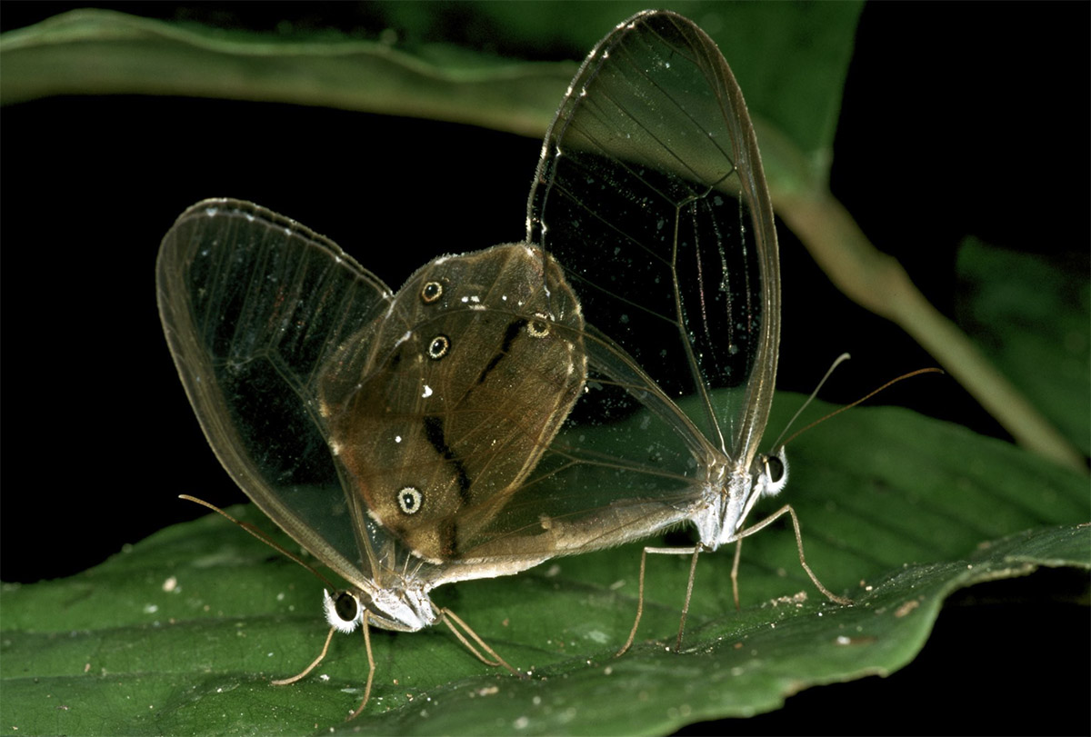 A green leaf is visible through two butterflies' translucent wings at night in the Amazon.