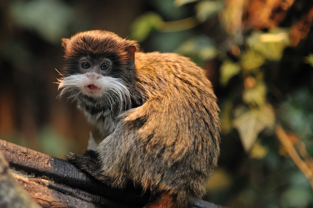 A small brown monkey with a thick white mustache rests on a branch in the Amazon.