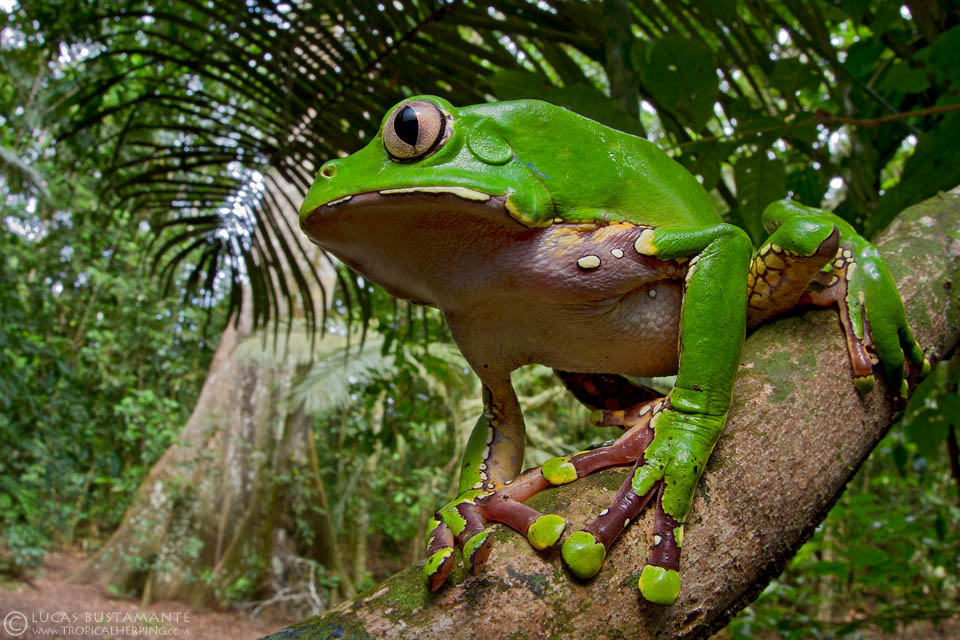 The bicolored tree frog, a green frog with a white underbelly, holds onto a branch in the Amazon.