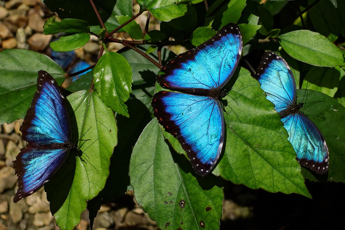 Three vibrant blue butterflies on green leaves in the Amazon Rainforest.