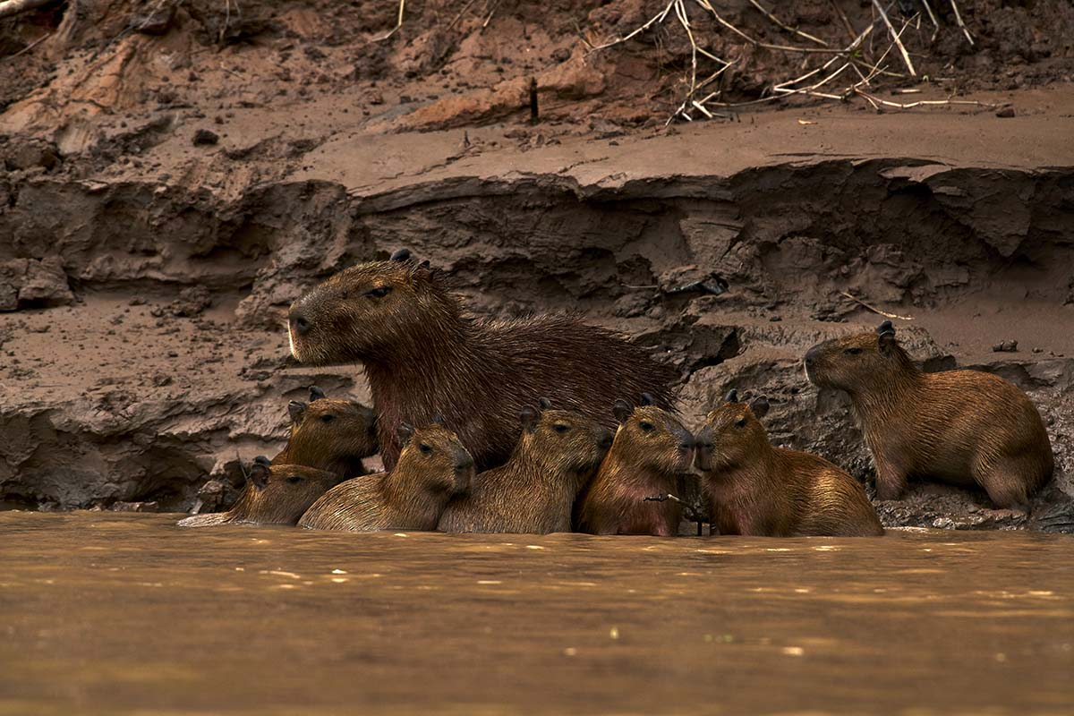 An adult capybara surrounded by seven babies resting along the river banks in the Amazon Rainforest.