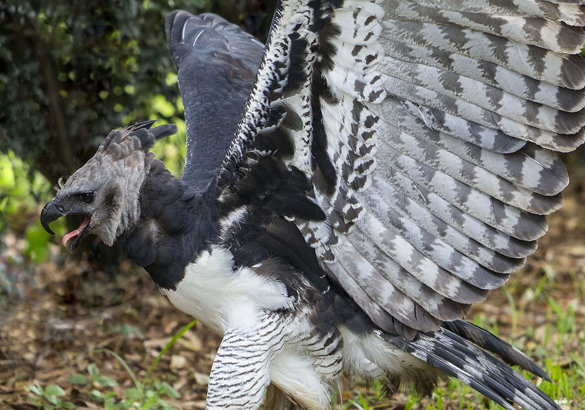 A harpy eagle, with black, gray, and white feathers, flaps its wings while on the ground.