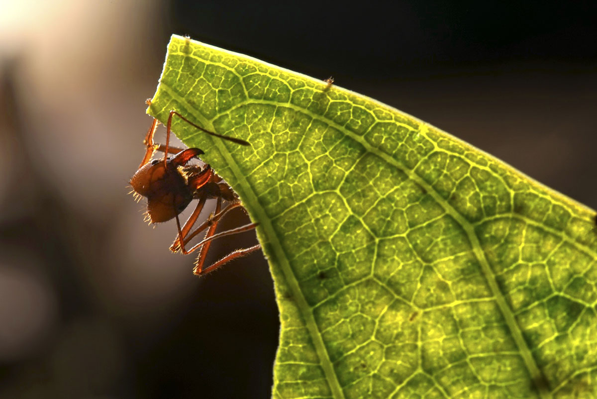 A leafcutter ant holds onto the edges of a bright green leaf in the Amazon.