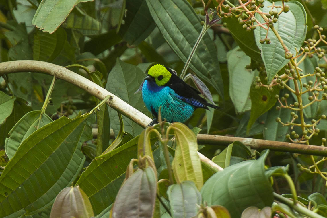 A paradise tanager, a small Amazonian bird with black, turquoise and lime green feathers.